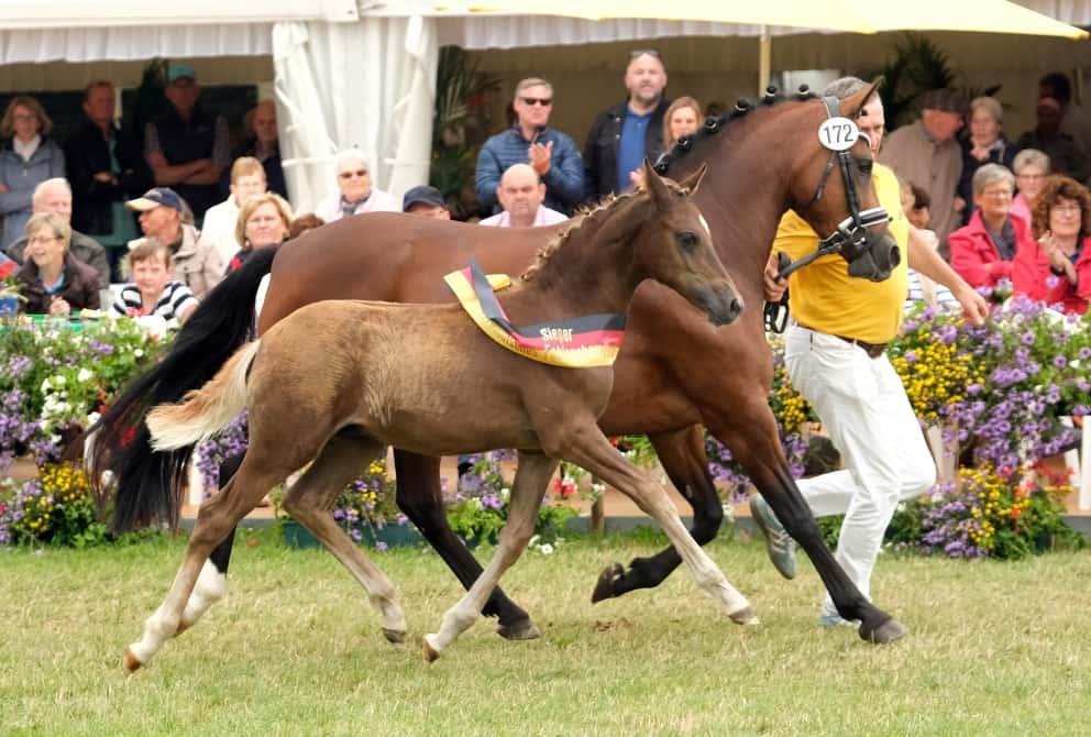 Ponyhengstfohlen v. Golden Grey-A new Star I, Züchterin Jill Mieleszko-Vekens